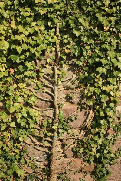 Tree of life: Trunk and branches of an ivy plant
