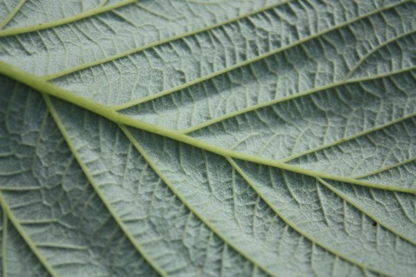 Silvery Leaf: Close up shots of a raspberry leaf