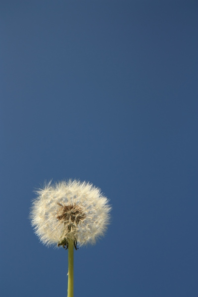 Dandelion blue sky : Image of a dandelion seed head against a blue sky, portrait orientation