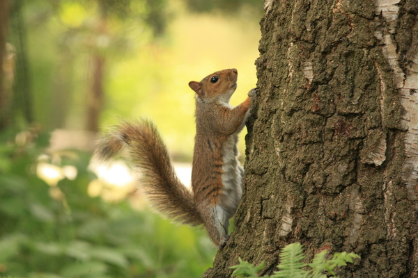 Cheeky squirrel: Cheeky squirrel climbing tree