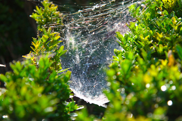 Spider web: Spider web, covered in dew, glinting in morning light