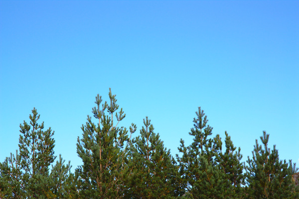Pine tree tops: Tops of pine trees against a vivid, clear blue sky