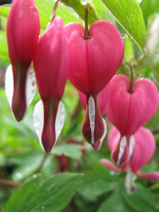 Hearts On A String 3: Bleeding heart flowers