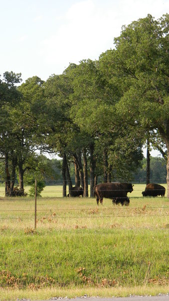 Bison: Some bison in a field between Waco and Mexia, Texas.