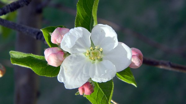 Apple Blossom: Some apple blossoms blooming.