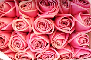 pink roses: pink roses