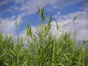 Grass in the wind: Marsh grass in the wind.