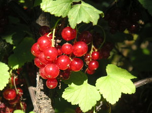 Red currant 4: Red currant bushes in grandma´s garden.