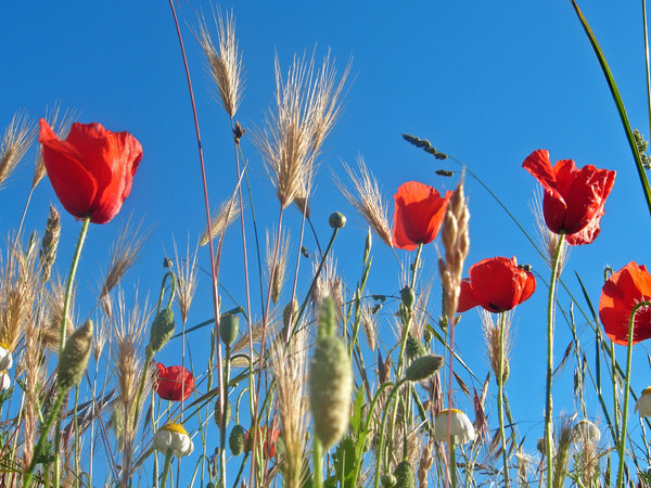 poppies 1: poppies