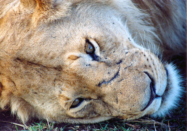 Lion's portrait: in the eyes of lion
