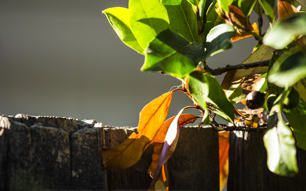 Fall Color on the Fence: Leaves turning color, lit by the morning sun.