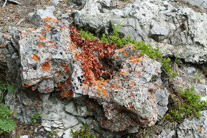 Leaves, Lichen, and Rocks: Pine Tree Leaves, Lichen, and Rocks at Banff, Alberta