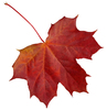 autumn leaf: Brak opisu