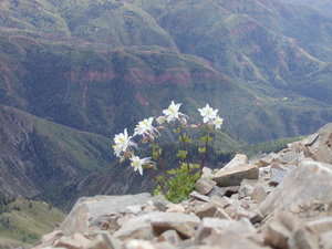 Solo sego: A lone sego lily plant at the top of a very high mountain peak (Mt. Nebo, UT). This was the highest-growing flower we saw that day by far. The sego lily is Utah's state flower.