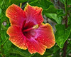 Hibiscus: red-orange flower with yellow trim