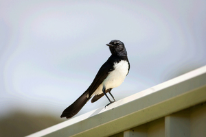 Wagtail Bird: The Willie Wagtail is the largest, and most well-known, of the Australian fantails. The plumage is black above with a white belly. The Willie Wagtail can be distinguished from other similar-sized black and white birds by its black throat and white eyebrow