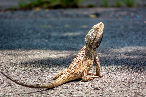 Bearded Dragon Lizard: An Australian bearded dragon is a lizard found in wooded parts of Australia. Photo taken Murwillumbah in Northern NSW Australia.
