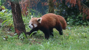 Red Panda Strolling: Red Panda at Chester Zoo strolling around its enclosure.