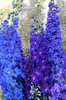 Blue Delphiniums: Blue delphiniums blooming.