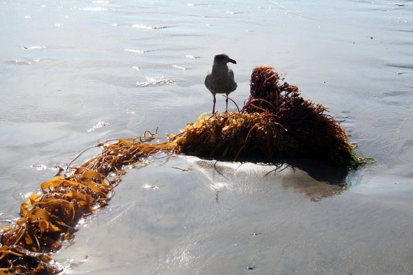 Seabird Standing on Seaweed: Seabird standing on seaweed at Pacific Ocean near San Diego, California