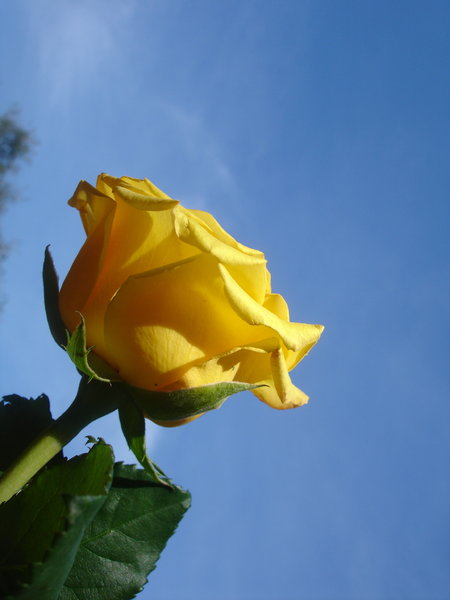 Yellow rose 1: None