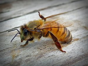bee grooming: a bee, in between pollen runs, grooming his fuzzy little self with his little bee feet