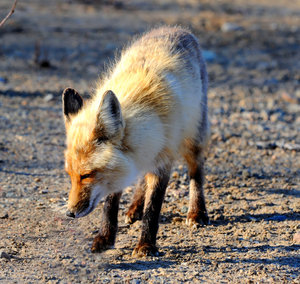 Fox 6: These pictures were taken 10km north of Yellowknife, NWT Canada