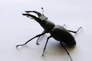 Stag beetle 1: Stag beetle with broken leg.