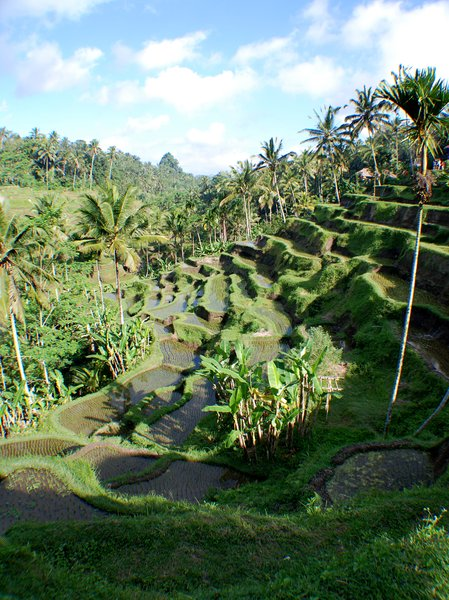 rice terraces: Bali