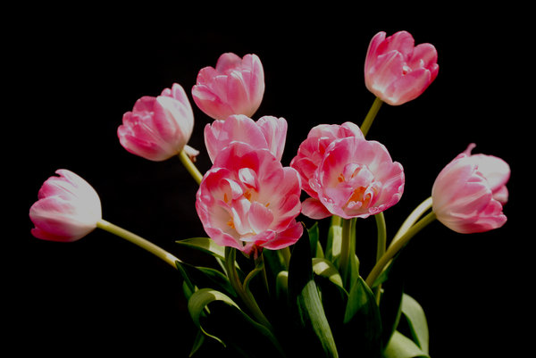 pink tulips: no description