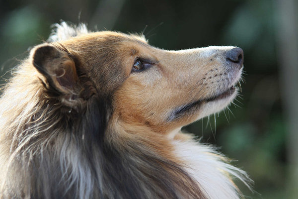 Sheltie: My little sheltie (named Fiddle) looking up.