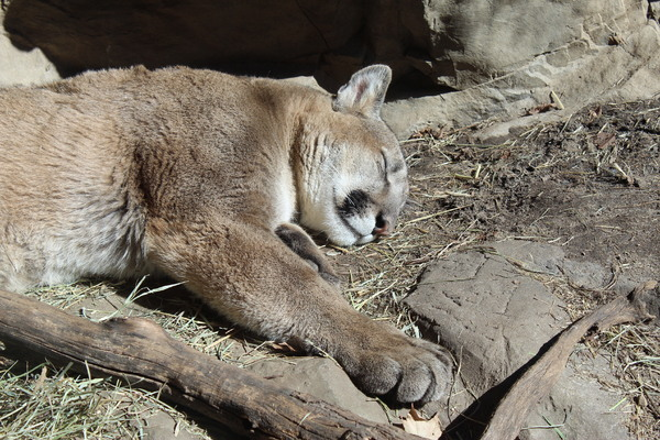 sleeping cougar: sleeping cougar at the MN zoo in April 2018