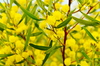 Gold and Green: Yellow wattle flowers with green leaves