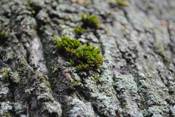 Moss on tree bark.: Some moss of the bark of a tree.