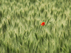 wheat: Red flower in the middle of a wheatfield
