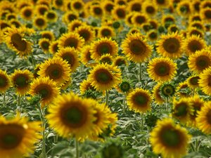 Sunflower: Field of sunflowers