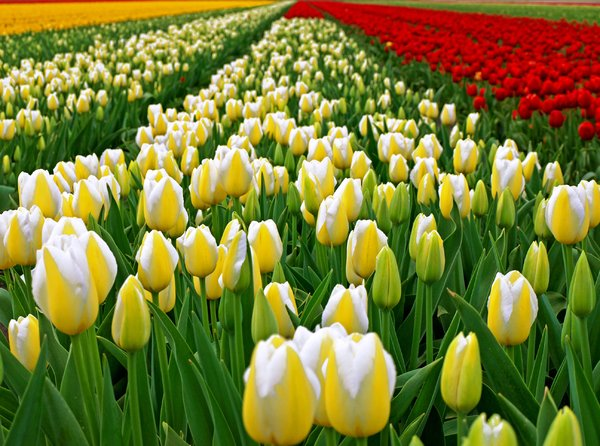 Tulip Season in the Netherland: No description