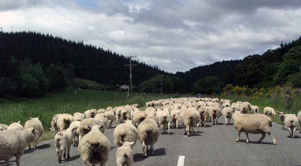 NZ traffic jam: Sheep being herded along a road in Nelson, New Zealand