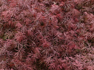 Japanese maple: Japanese maple from the top