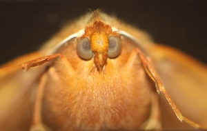 Kilroy is watching you: Face of moth. She sat there three days and nights waiting to be photographed.