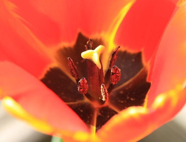 Inside a tulip: Close up of the pistils