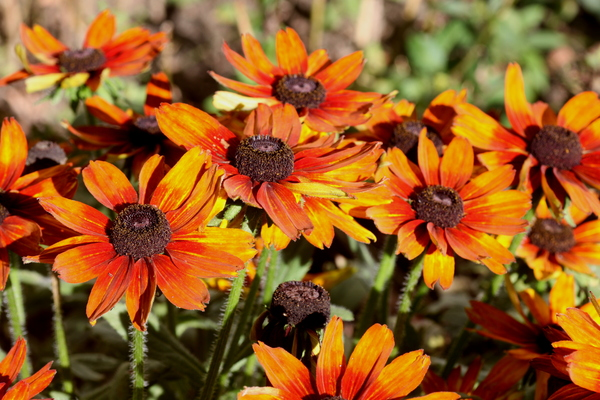 Black eyed Daisy 2: Brown and orange daisies in the sun