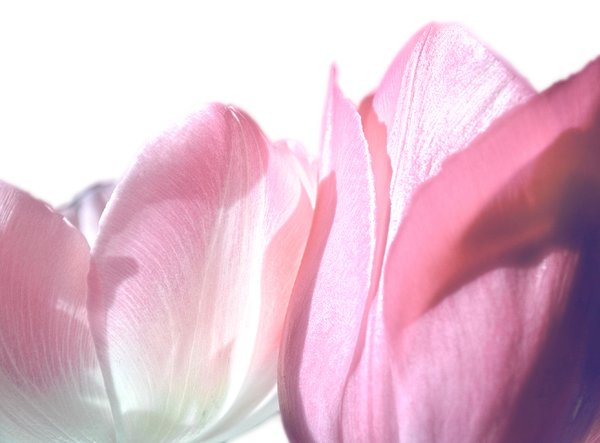 Pink Tulips: A close up  photo of pink tulips against a white background.