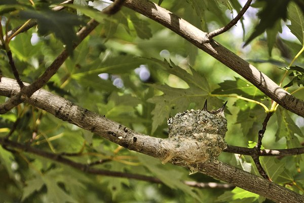 Baby Hummingbirds in a Nest: A photo of 2 baby hummingbirds in a nest.