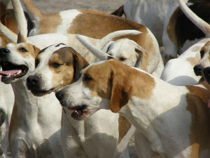 pack of hounds: ...