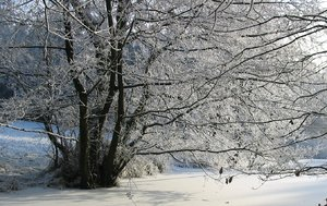 winter tree: a tree in winter beside a small lake