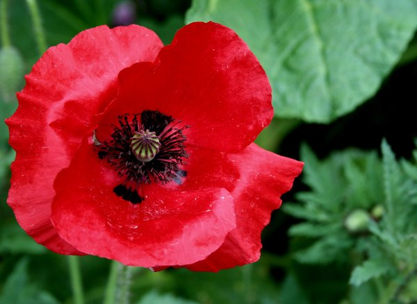 red poppy seed: No description