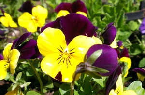 Viola's in the Garden: Yellow and Purple Viola's