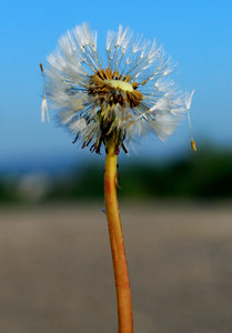 Partly blowin' dandelion clock: Wishie of taraxacum officinale