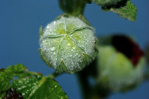 Fresh water droplets 1: Dew bubbles on the leaf